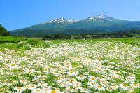 山形県 マーガレットと鳥海山