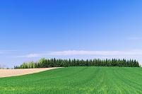 北海道 ニセコ 秋まき小麦