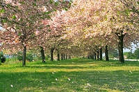 長野県 千曲川ふれあい公園の桜並木