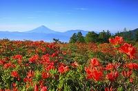 山梨県 甘利山 朝の富士山とレンゲツツジの群落