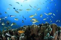 サンゴに群れるハナダイの群れ