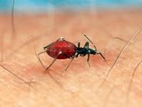 血を吸う昆虫