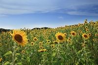 福岡県北九州市 若松区国道495号線沿いのひまわり畑