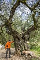 スペイン ウルデコナ オリーブの木