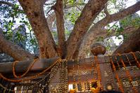 インド マハボディー寺院 菩提樹