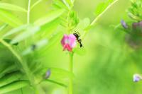 カラスノエンドウとアリの関係 蜜を吸いにくる