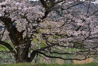 兵庫県 篠山市 春爛漫