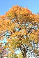 ナラの木紅葉