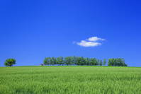 北海道 美瑛 麦畑と5本の木