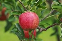 青森県 リンゴ