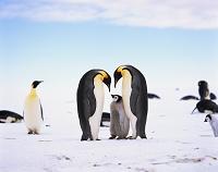 南極大陸 コウテイペンギン