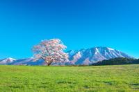 岩手県 小岩井農場の一本桜と岩手山(朝)