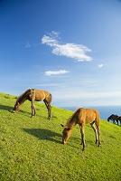宮崎県 都井岬の御崎馬