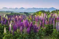 北海道 ルピナスと十勝岳連峰
