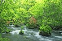 奥入瀬渓流の三乱の流れとツツジ 青森県