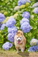 柴犬と紫陽花咲く夏