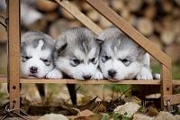 シベリアンハスキーの子犬3匹