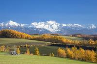 北海道 カラマツの黄葉と十勝連峰