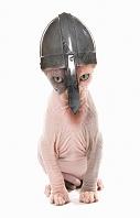 子猫  スフィンクス