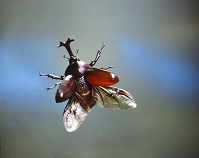 カブトムシ 飛ぶ
