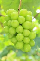 山梨県 シャインマスカット 葡萄