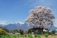山梨県 北杜市 桜と甲斐駒ケ岳