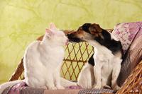 白猫にキスをするジャック・ラッセル・テリア 犬