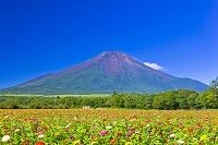 山梨県 富士山とヒャクニチソウ