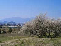 奈良県 ウメと大和三山と葛城山と金剛山