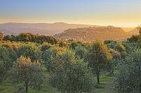 イタリア オルヴェエート オリーブ畑