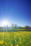 長野県 飯山市 菜の花公園と朝の光と寄楽舎