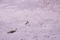 青森県 弘前公園のカモ