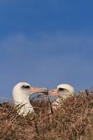 聟島 コアホウドリのカップル