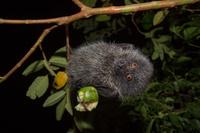 固有種 キバンジロウの実を食べるオガサワラオオコウモリ