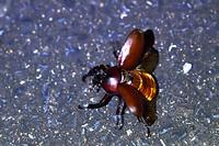 長崎県 飛び始めるカブトムシ