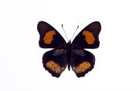 蝶 標本 タテハモドキ アフリカ