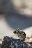 岩の上のエゾシマリス