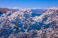宮城県 釜房湖の桜と蔵王連峰