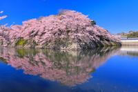 滋賀県 桜咲く彦根城