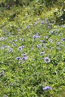 山梨県 烏帽子岳 タカネマツムシソウの花