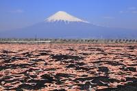 静岡県 富士川河口 富士山と桜えびの天日干し