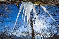 広島県 ブナ林の氷柱と日差し