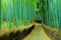 京都府 嵯峨野 朝の竹林の小道