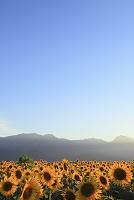 山梨県 北杜市 ひまわり畑と空