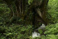 兵庫県 和池 大桂の木