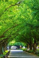 東京都 神宮外苑イチョウ並木