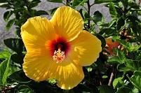 本四高速 与島パーキングエリアハイビスカスの花