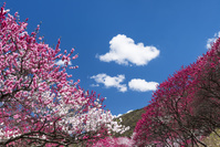 長野県 花桃の里 月川温泉