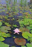 長野県 ヒツジグサ咲く水生植物園