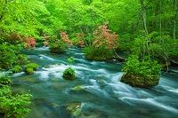 青森県 ヤマツツジ咲く奥入瀬渓流 三乱の流れ付近